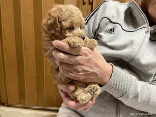 トイプードルの子犬(ID:1250711053)の5枚目の写真/更新日:2021-03-25
