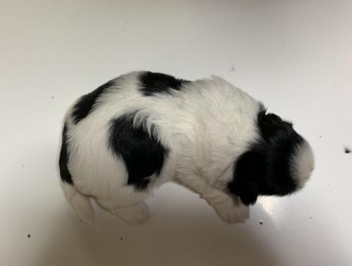 シーズーの子犬(ID:1250711058)の5枚目の写真/更新日:2019-07-11