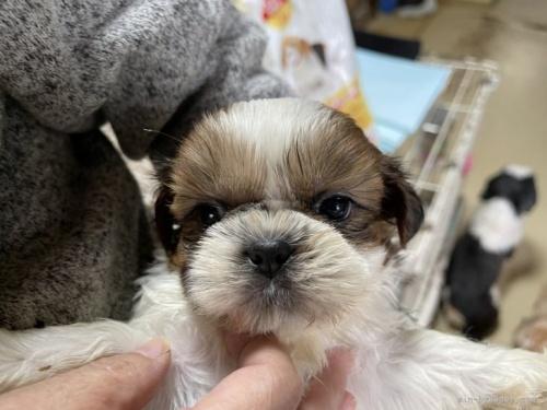 シーズーの子犬(ID:1250711061)の2枚目の写真/更新日:2019-04-22