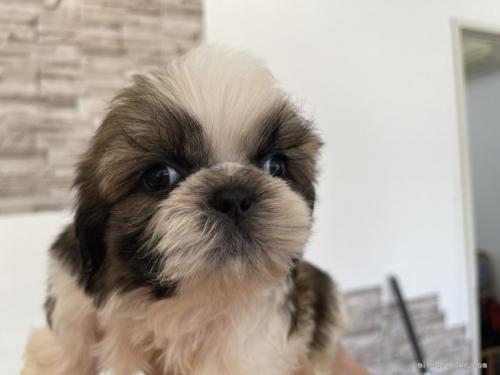 シーズーの子犬(ID:1250711063)の1枚目の写真/更新日:2019-07-11