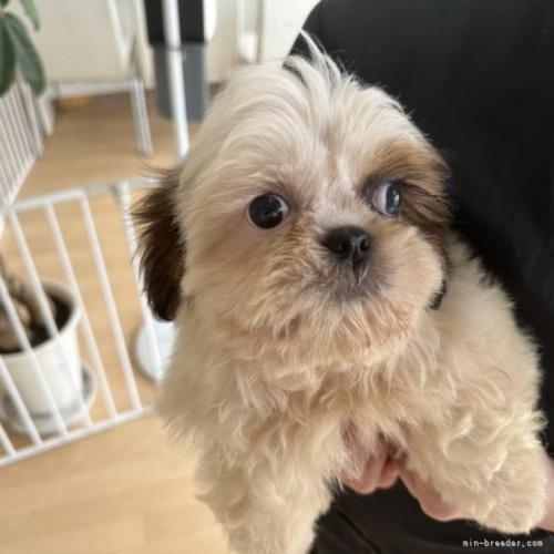 シーズーの子犬(ID:1250711064)の1枚目の写真/更新日:2019-11-18
