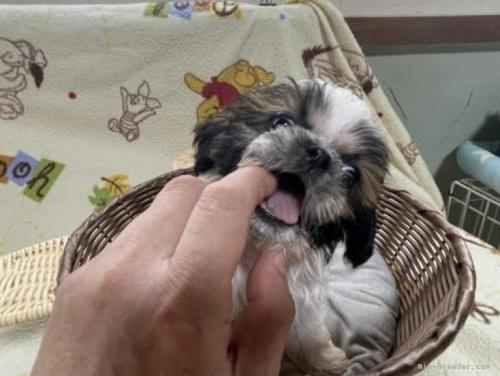 シーズーの子犬(ID:1250711073)の3枚目の写真/更新日:2018-08-03