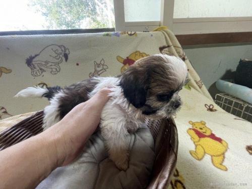 シーズーの子犬(ID:1250711073)の4枚目の写真/更新日:2018-08-03