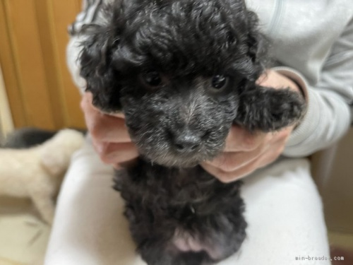 トイプードルの子犬(ID:1250711075)の1枚目の写真/更新日:2017-01-31