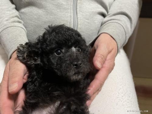 トイプードルの子犬(ID:1250711075)の2枚目の写真/更新日:2017-01-31