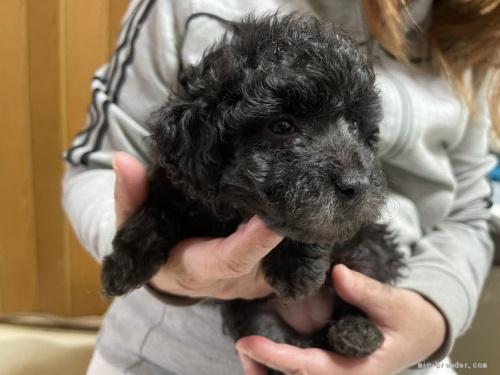 トイプードルの子犬(ID:1250711075)の3枚目の写真/更新日:2021-03-25
