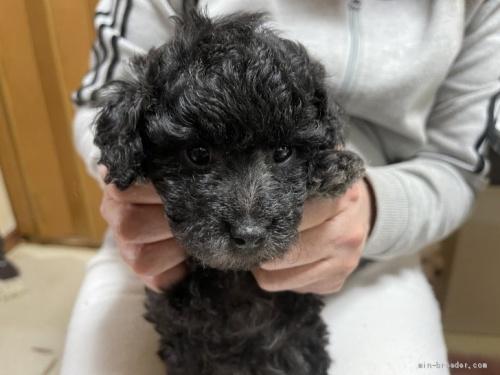 トイプードルの子犬(ID:1250711075)の5枚目の写真/更新日:2021-03-25