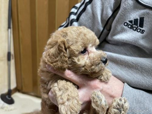 トイプードルの子犬(ID:1250711078)の2枚目の写真/更新日:2021-03-25