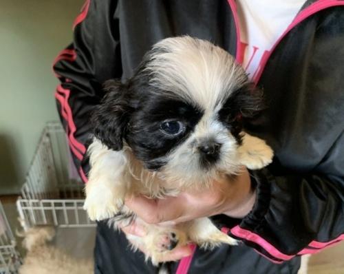 シーズーの子犬(ID:1250711082)の1枚目の写真/更新日:2019-11-18