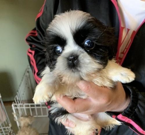 シーズーの子犬(ID:1250711082)の2枚目の写真/更新日:2016-12-20