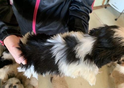 シーズーの子犬(ID:1250711082)の3枚目の写真/更新日:2016-12-20