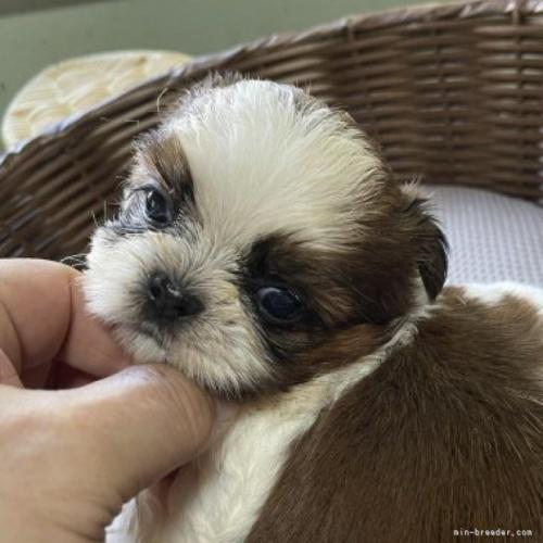 シーズーの子犬(ID:1250711084)の1枚目の写真/更新日:2017-04-24