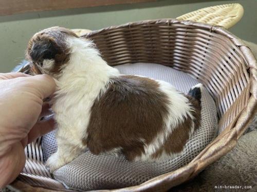シーズーの子犬(ID:1250711084)の3枚目の写真/更新日:2019-11-18