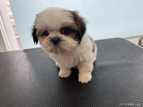 シーズーの子犬(ID:1250711086)の3枚目の写真/更新日:2017-05-07