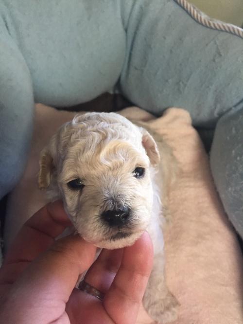 トイプードルの子犬(ID:1250711088)の3枚目の写真/更新日:2017-05-19