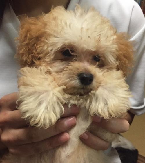 トイプードルの子犬(ID:1250711094)の3枚目の写真/更新日:2017-10-07
