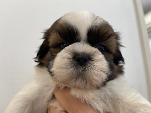 シーズーの子犬(ID:1250711097)の1枚目の写真/更新日:2021-10-15