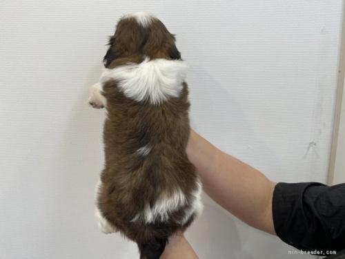 シーズーの子犬(ID:1250711097)の5枚目の写真/更新日:2021-10-15