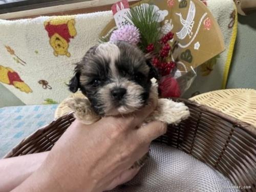 シーズーの子犬(ID:1250711108)の4枚目の写真/更新日:2018-01-22