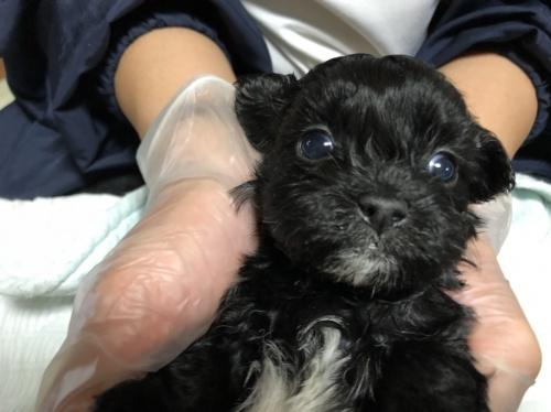 ミックスの子犬(ID:1250711110)の2枚目の写真/更新日:2018-02-03
