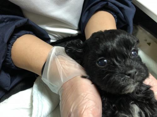 ミックスの子犬(ID:1250711110)の3枚目の写真/更新日:2018-02-03