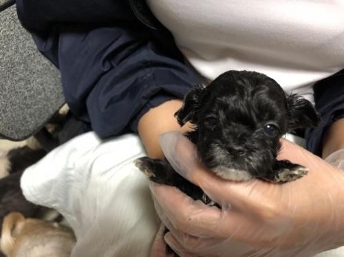 ミックスの子犬(ID:1250711112)の1枚目の写真/更新日:2018-02-03