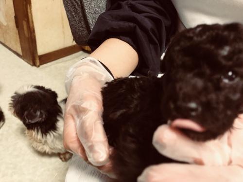 トイプードルの子犬(ID:1250711113)の2枚目の写真/更新日:2018-02-03