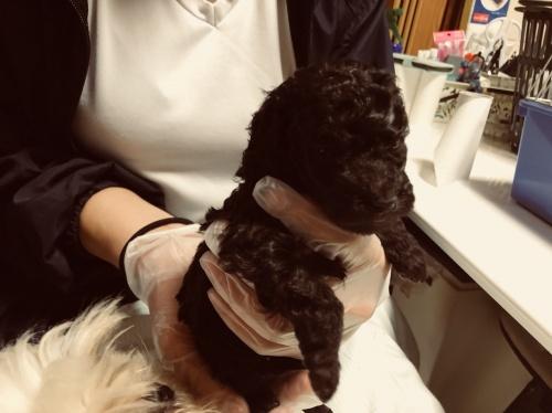 トイプードルの子犬(ID:1250711113)の3枚目の写真/更新日:2018-02-03
