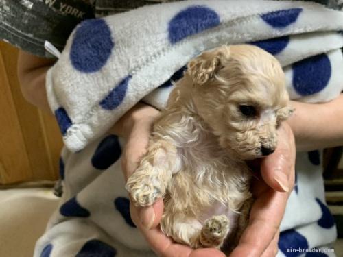 トイプードルの子犬(ID:1250711114)の1枚目の写真/更新日:2018-03-29