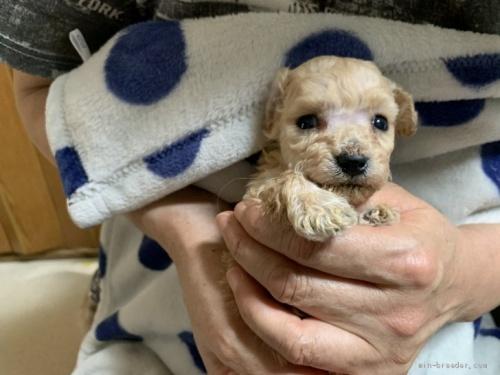 トイプードルの子犬(ID:1250711114)の2枚目の写真/更新日:2018-03-29