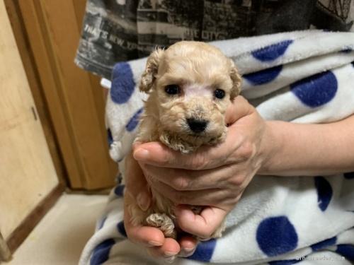 トイプードルの子犬(ID:1250711114)の3枚目の写真/更新日:2020-06-03