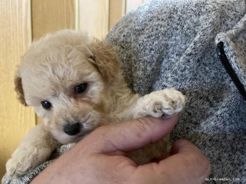 トイプードルの子犬(ID:1250711115)の1枚目の写真/更新日:2018-06-04