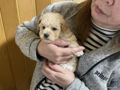 トイプードルの子犬(ID:1250711115)の2枚目の写真/更新日:2018-04-18