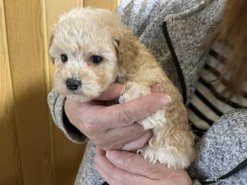トイプードルの子犬(ID:1250711115)の3枚目の写真/更新日:2018-06-04