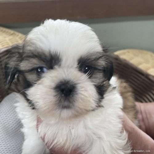 シーズーの子犬(ID:1250711116)の1枚目の写真/更新日:2018-04-18