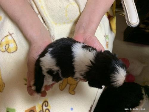 シーズーの子犬(ID:1250711118)の3枚目の写真/更新日:2018-04-22