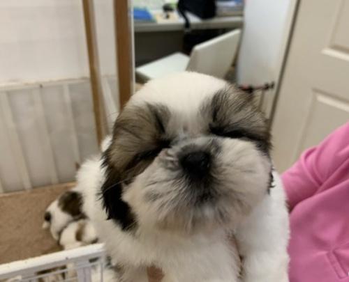 シーズーの子犬(ID:1250711120)の1枚目の写真/更新日:2018-04-22