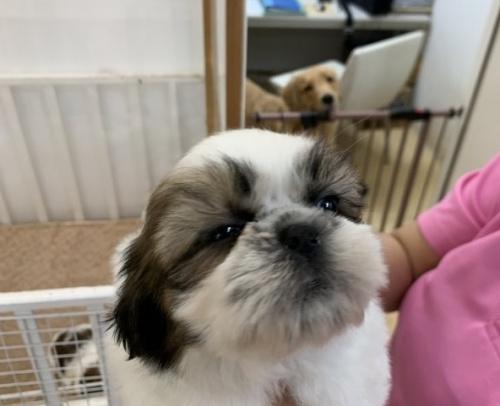 シーズーの子犬(ID:1250711120)の2枚目の写真/更新日:2018-04-22