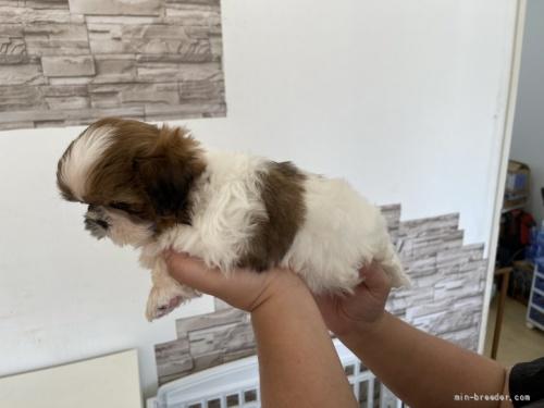 シーズーの子犬(ID:1250711125)の4枚目の写真/更新日:2019-03-12