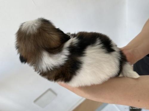 シーズーの子犬(ID:1250711126)の5枚目の写真/更新日:2019-10-01