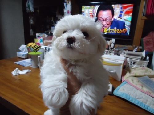 マルチーズの子犬(ID:1250811003)の1枚目の写真/更新日:2018-06-01