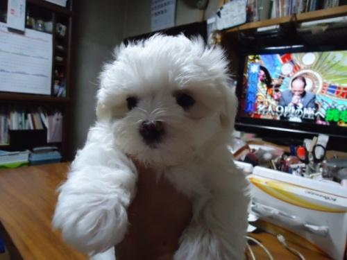 マルチーズの子犬(ID:1250811003)の2枚目の写真/更新日:2018-06-01