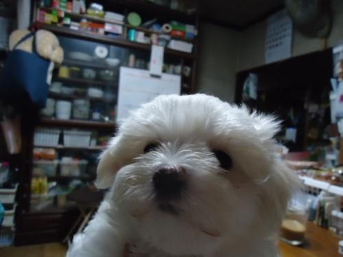 マルチーズの子犬(ID:1250811003)の3枚目の写真/更新日:2018-06-01