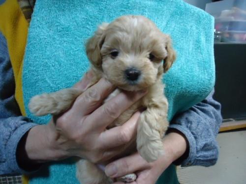 ミックスの子犬(ID:1250811004)の1枚目の写真/更新日:2018-11-12