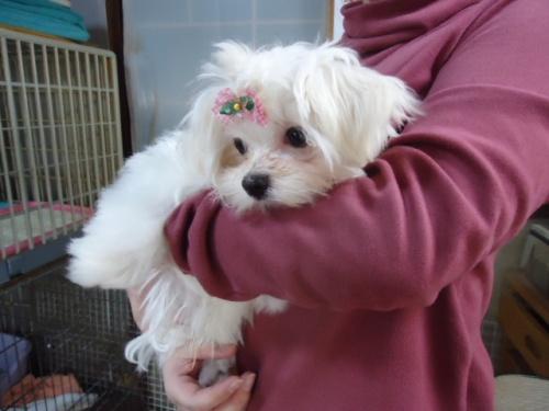 マルチーズの子犬(ID:1250811012)の2枚目の写真/更新日:2019-04-15