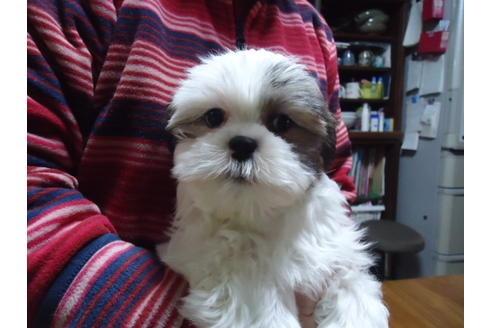 マルチーズの子犬(ID:1250811036)の1枚目の写真/更新日:2020-12-18