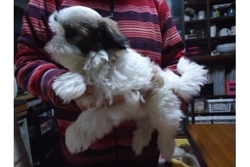 マルチーズの子犬(ID:1250811036)の4枚目の写真/更新日:2020-12-18