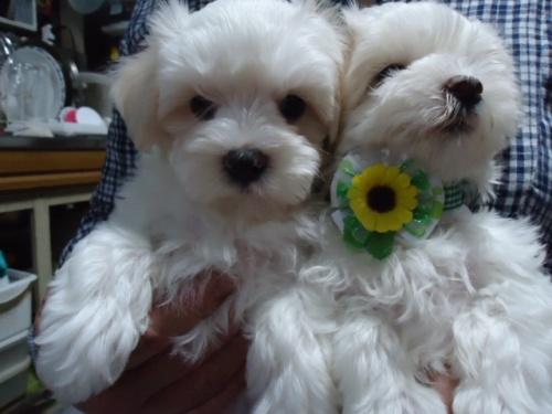 マルチーズの子犬(ID:1250811066)の2枚目の写真/更新日:2018-06-05