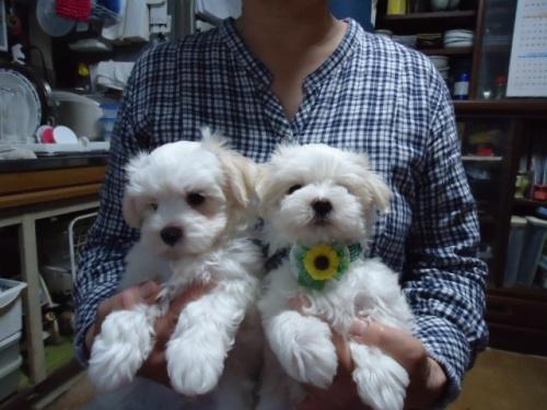 マルチーズの子犬(ID:1250811066)の3枚目の写真/更新日:2018-06-05