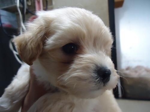 ミックスの子犬(ID:1250811070)の1枚目の写真/更新日:2019-04-02